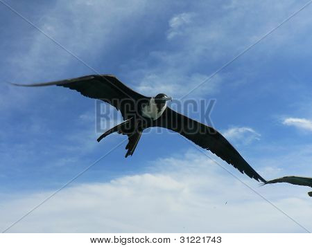 Flying Frigate Bird