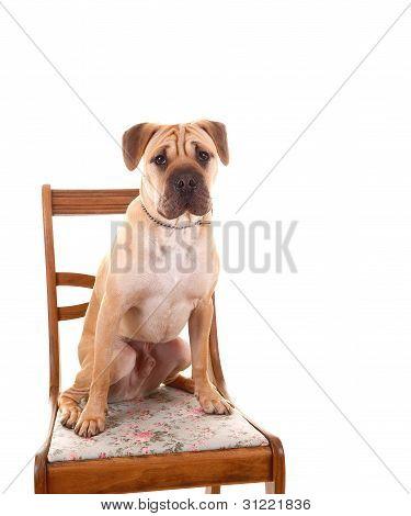 Sharpei Dog Sitting.