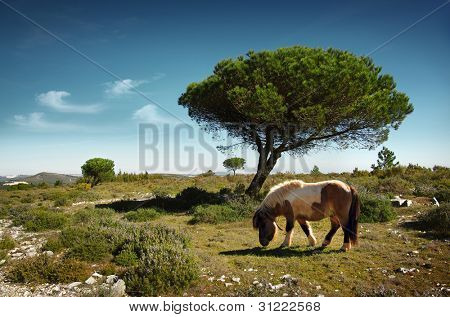 White and brown pony pasturing in a green field with pine trees under the blue sky
