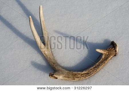 Shed Whitetail Deer Antler in Snow