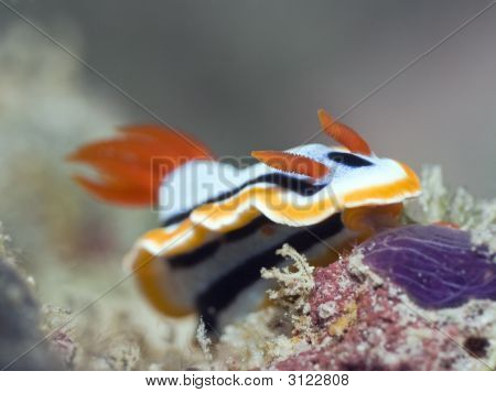 Nudibranch Underwater.