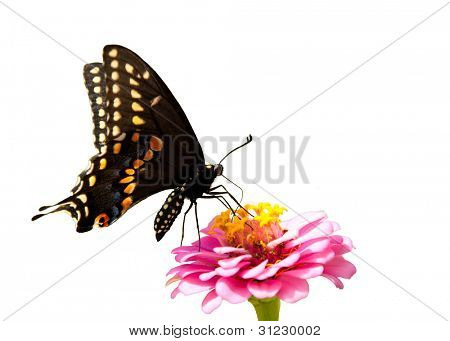 Eastern Black Swallowtail butterfly on a pink Zinnia on white background