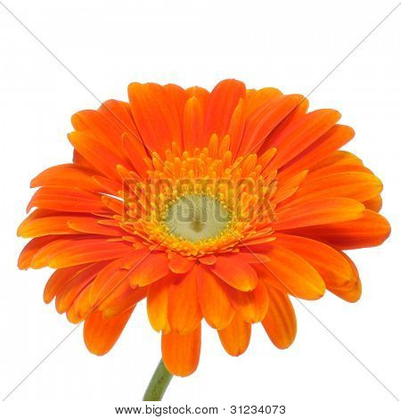 closeup of an orange gerbera daisy on a white background