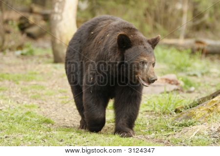 Roaming Black Bear