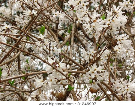 White Forsythia Bush