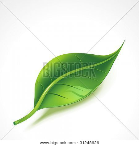 glänzend grünes Blatt