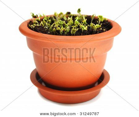 Cress In Ceramic Pot