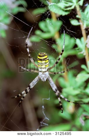 Wasp Spider Hanging On Web.