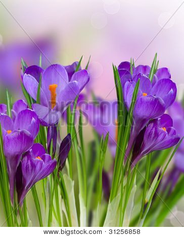 Crocus Spring Flowers