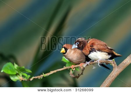 Small Songbird On A Branch (amadina)