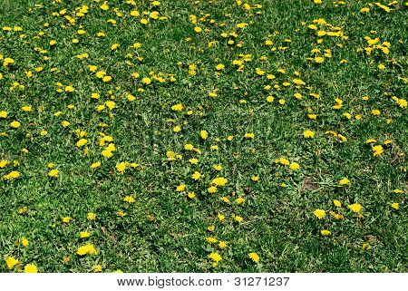 Coltsfoot Bloom  On Green Background , Tussilago Farfara