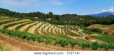 Panoramic Vineyard