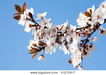 Early Spring Flowering Trees