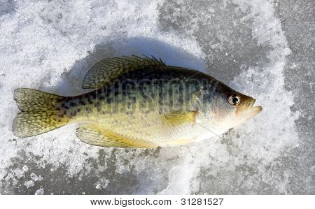 Crappie On A Frozen Lake
