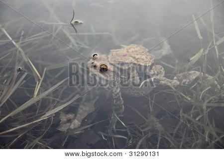 Toads Underwater