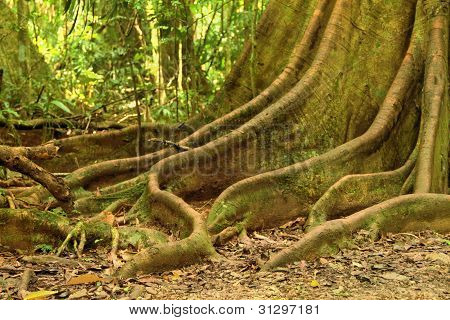 Rainforest Buttress