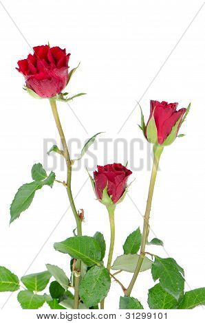 Bunch Of Velvet Red Roses