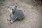 The Joey Koala Is Walking To A Tree poster