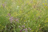Wild Herbal Plants On Meadow. Medicinal Herb. poster