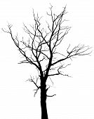 picture of dead plant  - Dead tree with branches and without leaves  - JPG