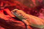 stock photo of goanna  - Macro shot of goanna  - JPG