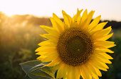 Beautiful Young Sunflower Grow In A Field At Sunset. Agriculture And Farming. Agricultural Crops. Ye poster