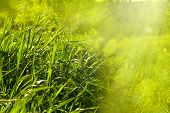 Grass. Fresh Spring Green Grass .panoramic Banner. Beautiful Wallpaper.top View Nature Background.ab poster