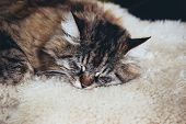 Adorable Sleeping Grey Cat. Grey Kitty Takes A Nap. The Cat Is Lying On White Fluffy Blanket. Empty  poster