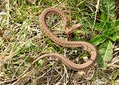 picture of harmless snakes  - A garter snake curled in the grass - JPG