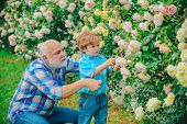 Grandfather And Grandchild Enjoying In The Garden With Roses Flowers. Senior Gardener. Spring And Ho poster