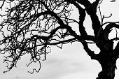 Silhouette Dead Tree And Branch Isolated On White Background. Black Branches Of Tree Backdrop. Natur poster