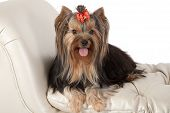 stock photo of banquette  - Yorkshire terrier on banquette  - JPG
