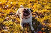 Master Walking Pug Dog In Autumn Park. Happy Puppy Sitting On Grass. Dog Resting poster