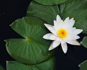 Water Lily On The Small Lake, Lovely Flowers White Nymphaea Alba, Commonly Called Water Lily Or Wate poster