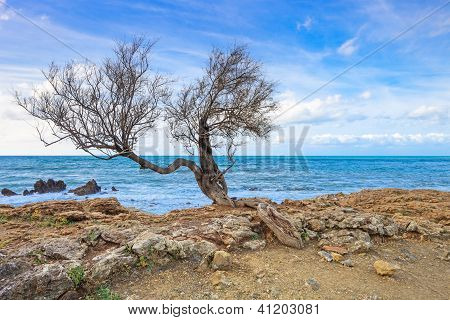 Tamarisk Or Tamarix Tree, Rock Beach And Ocean On Background.