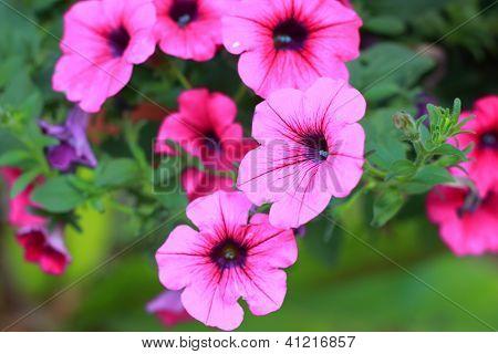 The petunias pink flowers