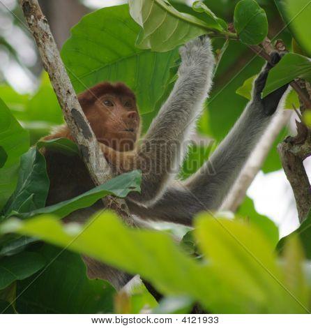 Juvenile Proboscis Monkey