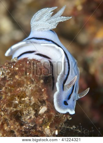 Nudibranch chromodoris willani