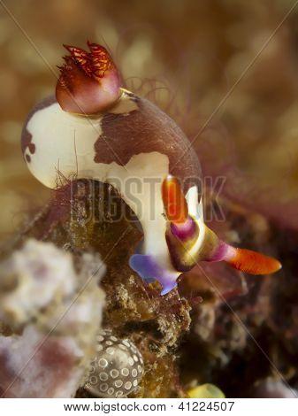 Nudibranch nembrotha rutilans