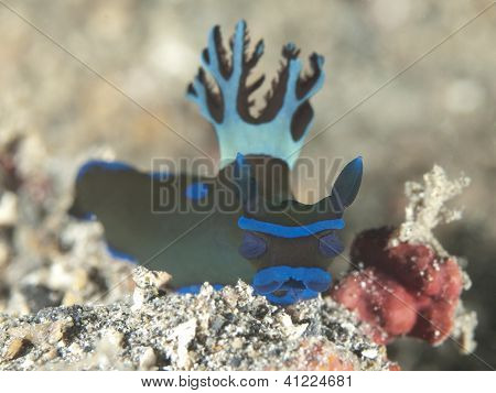 Nudibranch tambja morosa