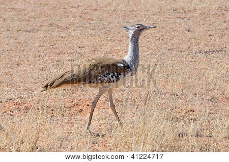 A Kori Bustard In The Kgalagadi Transfrontier Park, South Africa