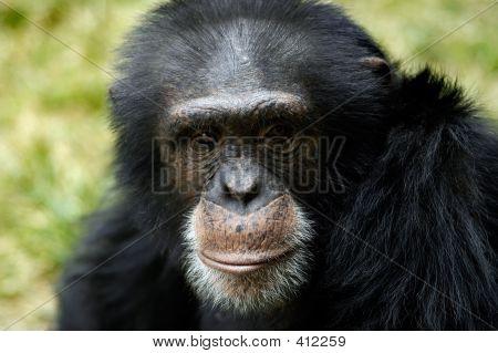 Animal Chimp Ape