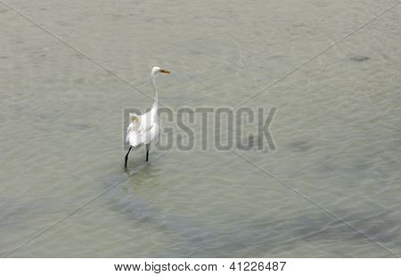 A beautiful white egret