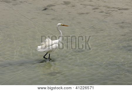 A beautiful white heron moving in water