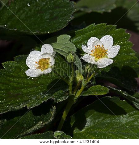White Flower Fragaria