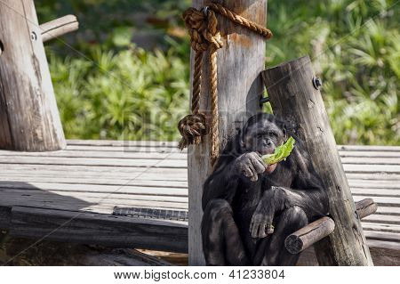 Bonobo Eating Lettuce At The Zoo