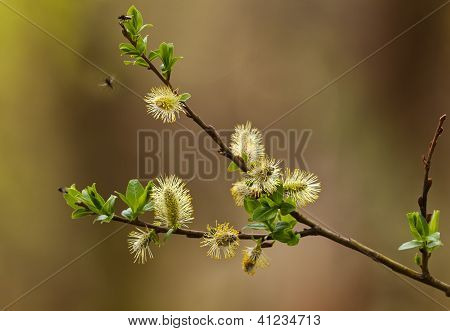 Flowers Willow Spring (salix)