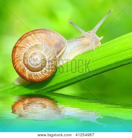 Edible snail (Helix pomatia) on the grass. Snails provide an easily harvested source of protein to many people around the world.