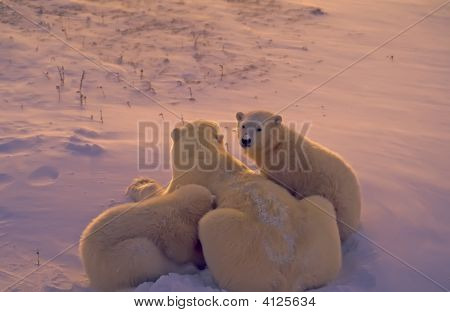 Polar Bears In Arctic Twilight