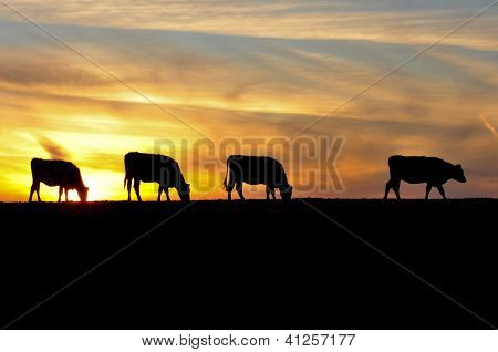 Four Cows Are Sihouetted By The Sunset On A Hill